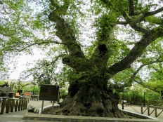 Krassi platanos tree